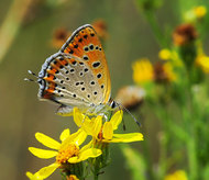 Голубянка Lycaena thersamon